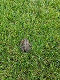 Toad in the Grass stock image
