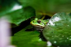 Toad on a green leaf. On a large green leaf sitting green toad Stock Photography