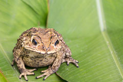 Toad on green leaves Royalty Free Stock Photography