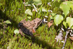 Toad on green moss Royalty Free Stock Photos