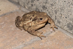 Toad on the ground. Big toad on the ground Stock Images