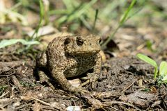 Toad on the ground Stock Photography