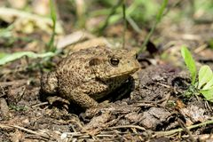 Toad on the ground Royalty Free Stock Image