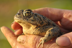 Toad in Hand Royalty Free Stock Photography