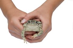Toad in Hands Isolated. Toad in Kid's Hands Isolated on White Stock Image