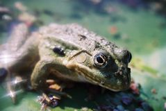 Toad happily sitting Royalty Free Stock Image