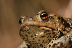 Toad head Stock Photography