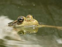 A toad with head above the water surface stock photography