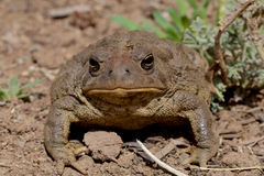 Toad Head On Royalty Free Stock Photos
