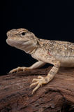 Toad-headed agama Royalty Free Stock Images