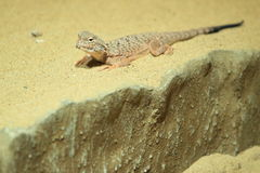 Toad headed agama. The toad headed agama on the sand Royalty Free Stock Photos