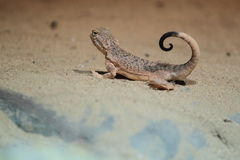 Toad headed agama Royalty Free Stock Photography