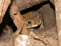 Toad hibernate In the hole stock photos