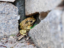 The toad hibernate Royalty Free Stock Photos