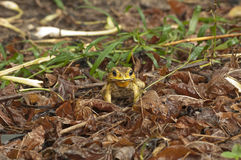 Toad hidden in brown color leaves Royalty Free Stock Image