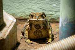 Toad in the house stock photo
