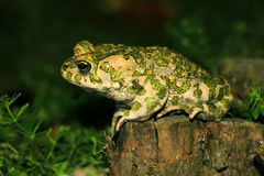 Toad on hunting (Bufo viridis). Young toad at night on hunting Royalty Free Stock Image