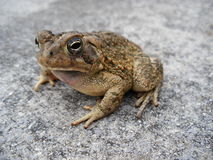 Toad II Royalty Free Stock Photos