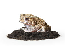 Toad Isolated Stock Photography