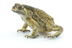 Toad isolated on white background Royalty Free Stock Image