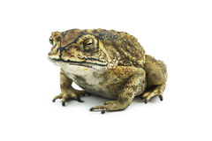 Toad isolated on white background Stock Photos