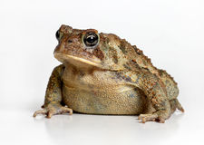 Toad Isolated on White Stock Images