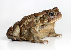Toad Isolated on White. Background Royalty Free Stock Photos