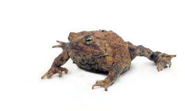 Toad Isolated on White Stock Photography