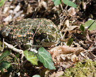 Toad and ivy. A toad sits on moss and ivy Stock Photos