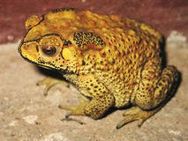 Toad - laos. Toad from laos, amphibian, vertebrate Royalty Free Stock Image