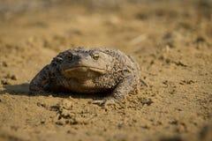 A toad. Stock Photos