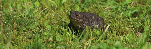 Toad on the lawn. Toad on the lawan in summer stock photos