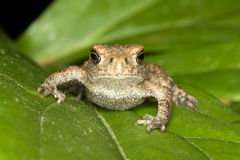 Toad on the leaf. Small toad on the leaf Stock Photo