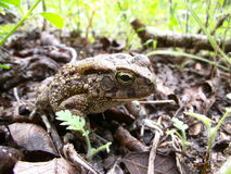 Toad on leaf ground in Swaziland Stock Photos