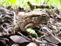 Toad on leaf ground in Swaziland Royalty Free Stock Image