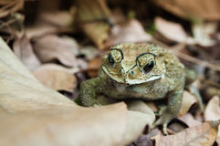 Toad on leaves Royalty Free Stock Photo