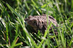 Toad Life. A warted Toad sitting in green grass Stock Image