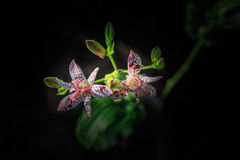 Toad Lilies Tricyrtis Formosana Flowers. Toad lilies are unique, herbaceous, shade-loving, perennial plants with bizarre upward facing star-shaped flowers with Stock Image