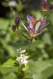 Toad lily and buck wheat Royalty Free Stock Photos