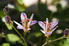 Toad lily flower Royalty Free Stock Photography