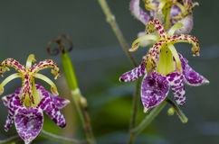 Toad lily Stock Photography