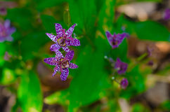 Toad Lily - Tricyrtis Flower Royalty Free Stock Images