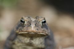 Toad lips. A macro view of the eyes and nose of a toad Stock Image