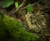 Toad on Log Stock Photos