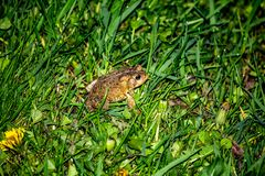Toad in Long Grass royalty free stock images