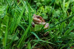 Toad looking out of the green grass Royalty Free Stock Photos