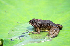 Toad on lotus leave Stock Images