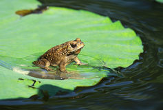 Toad on lotus leave with water Royalty Free Stock Photo