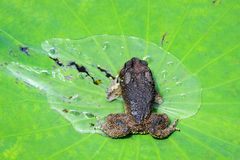 Toad on lotus leave with water Royalty Free Stock Images