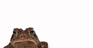 Toad Macro Isolated on White Royalty Free Stock Image